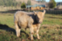 Murray Grey Calf