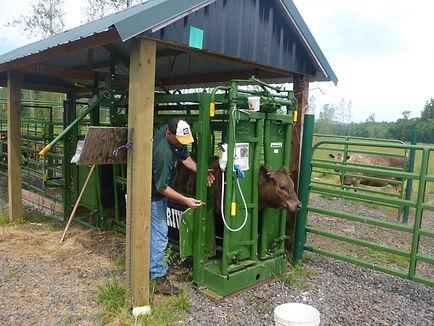 Cattle chute