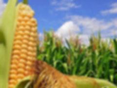Фото рынок кукурузы