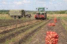 Маркетинговое исследование рынка картофеля