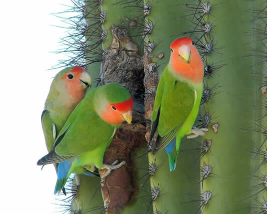Rosy-faced lovebirds  Image credit: Pierre Deviche