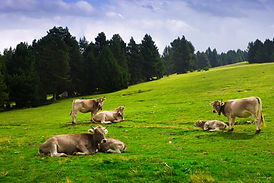 meadow-with-cows.jpg