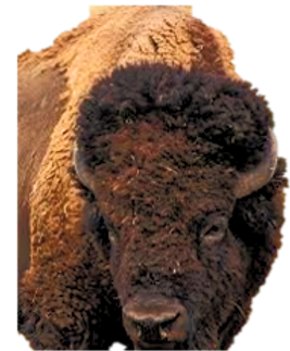 bison%2520pic%25202_edited_edited.png
