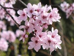 Cherry Plum - Fiore di Bach
