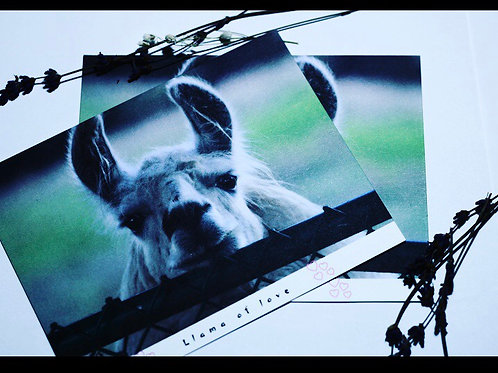 Whole Llama Love-Valentine's Day Post Card