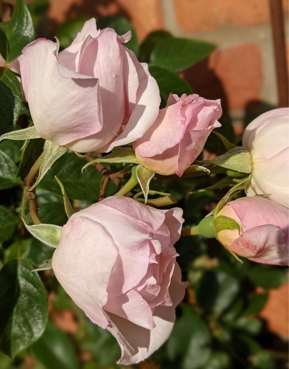 David Austin Generous Gardener Rose