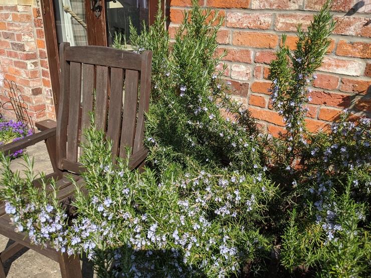 Rosemary bush in the garden