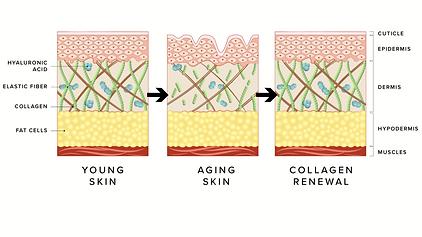 skin cell renewal.png