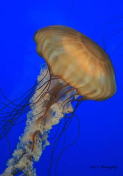 Jelly Fish #2