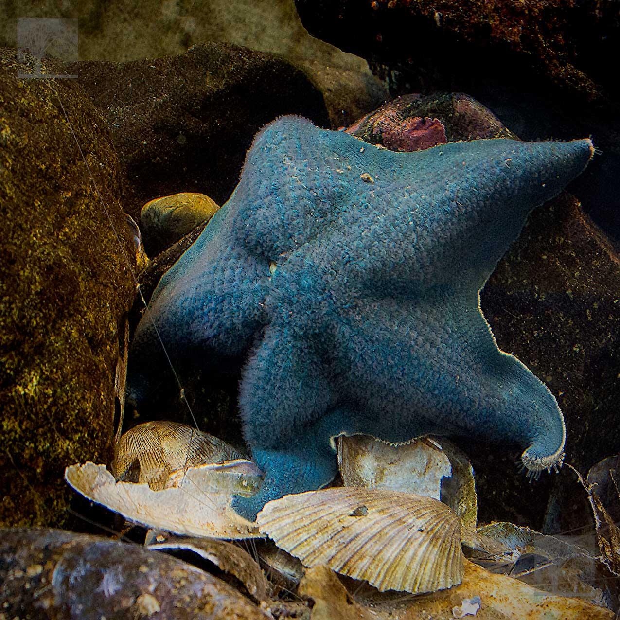 Blue-bat-star-1