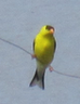 Goldfinch photo.png