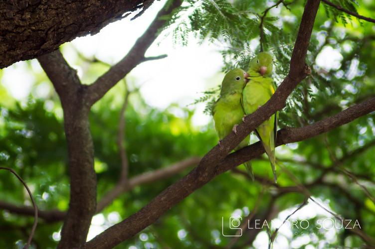 Papagaio.jpg
