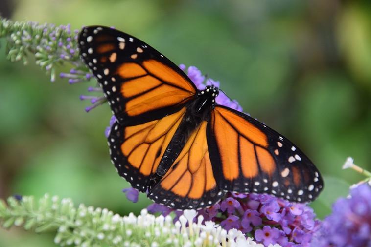 butterfly-3656086_960_720.jpg