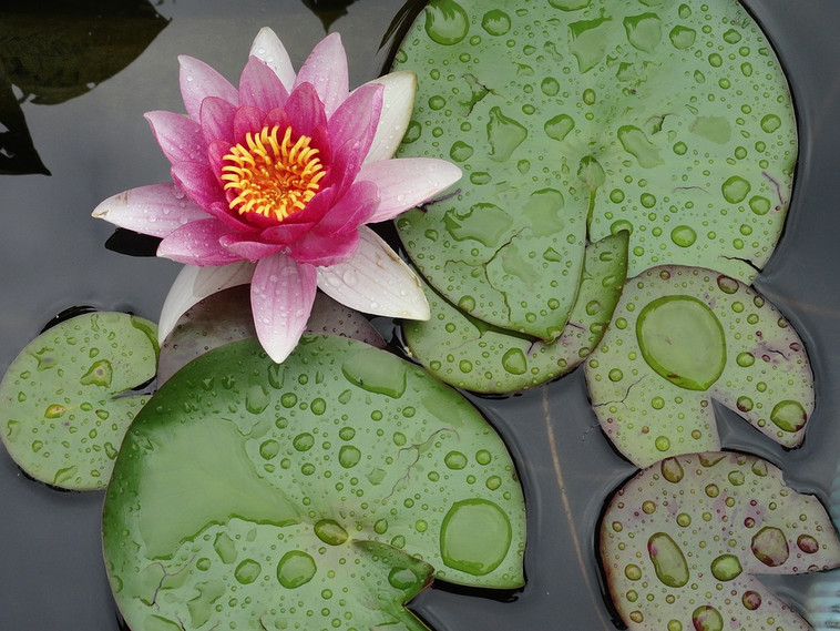 water-lily-1138788_960_720.jpg