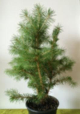 Bonsai 01-small.jpg