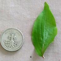 04 Cornelian Cherry (Dogwood).jpg