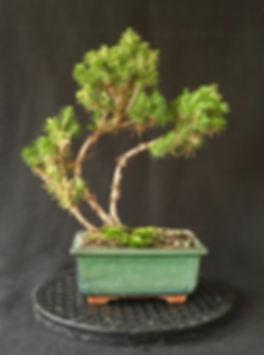 Bonsai 03-small.jpg