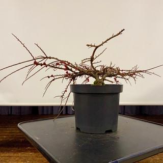 NBS Jan 2020 Pre-Bonsai 10.jpg