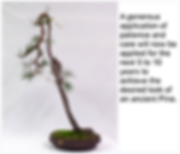 Scots Pine 5 Wired-Pruned 29-10-16.png