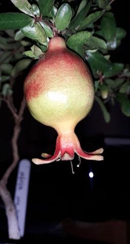 Juvenile Pomegranate.jpg