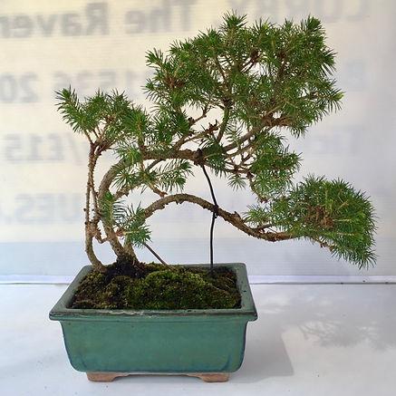 Bonsai 04-small.jpg