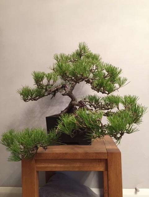 Black Pine.JPG