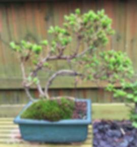 Bonsai 05-small.jpg