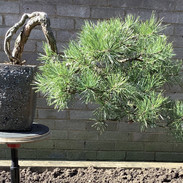 Scots Pine 2020.jpg