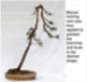 Scots Pine 3 Wired 18-8-14.png