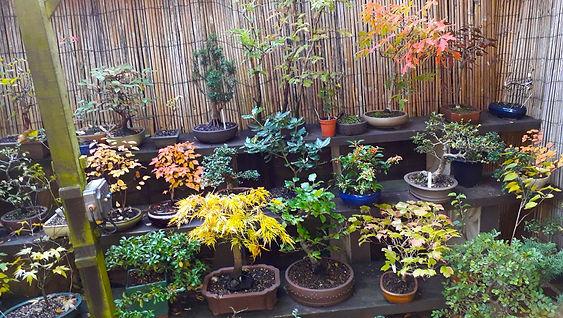 NBS Member Bonsai Garden.jpg