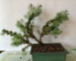 Bonsai 02-small.jpg