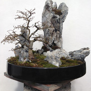Chinese Elm.JPG