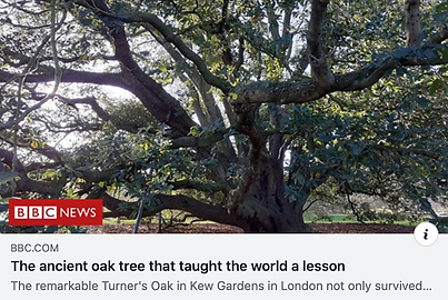 BBC Oak Tree.png