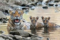 Ranthambore-tiger-safari-things-to-do-booking-vedic-walks-national-park.jpg