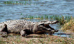 Palighat-crocodile-safari-chambal-things-to-do-in-Ranthambore-vedic-walks
