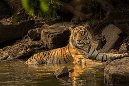 Ranthambore-tiger-safari-things-to-do-booking-vedic-walks-national-park-monkey.jpg
