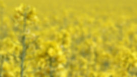 oilseed-rape-3394517_960_720.jpg