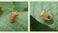 Suscetibilidade de Euschistus heros e Dichelops furcatus a inseticidas utilizados no Brasil