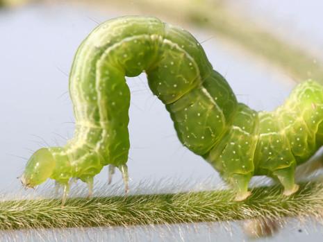 Soja Bt: tecnologia eficaz para o manejo da lagarta falsa-medideira