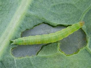 Traça-das-crucíferas consegue detectar a presença de inseticidas na planta