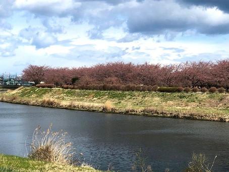 今日の新井田公園の桜
