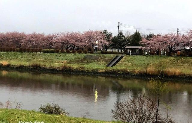 桜咲きましたね。