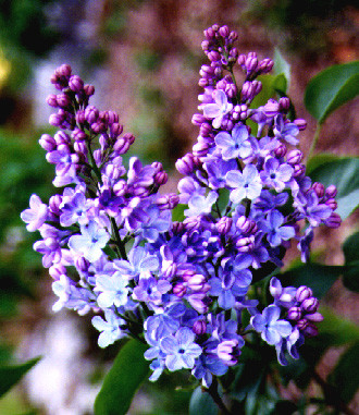 The Wisdom Of The Lilacs