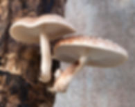 SHIITAKE (Lentinula edodes) auf Pilzholz im Garten