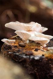 Lungenseitling (Pleurotus pulmonarius) auf Pilzholz im Garten