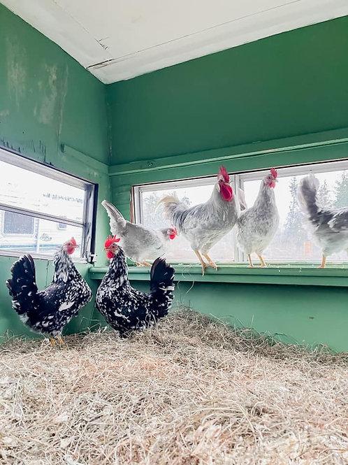 Barnyard Mix - Hatching Eggs (a dozen)