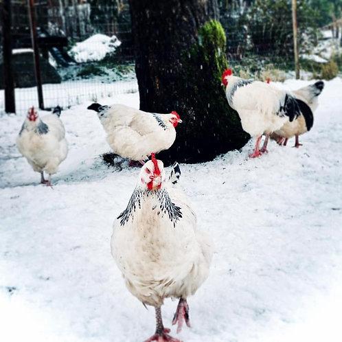 Light Sussex Chicken Hatching Eggs / 12