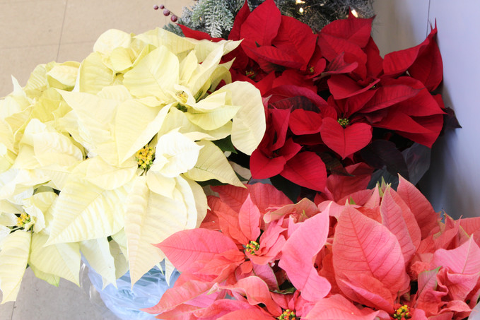 A Christmas Décor must have! Poinsettia's are here!