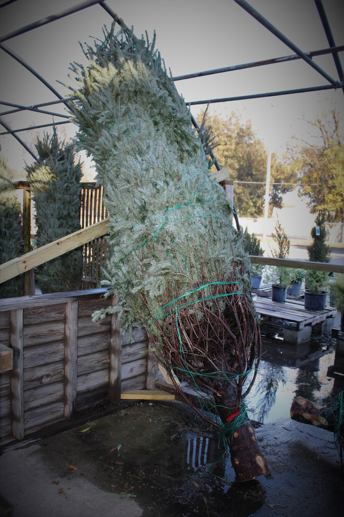 Live Christmas Trees! Prices start at $65!