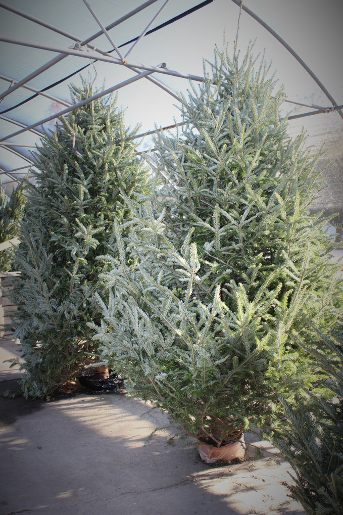 Hurry before they are gone! Live Christmas Trees at Oxford & Talladega locations!